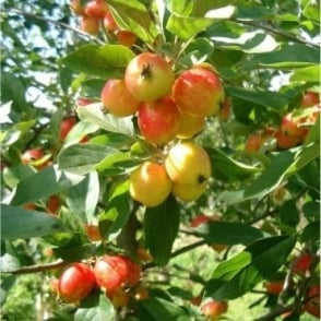 Malus John Downie Tree