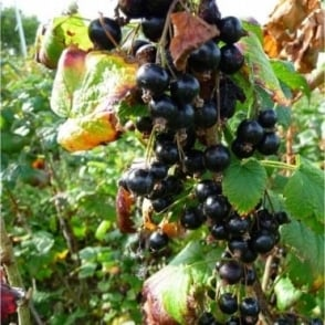 Ben Connan Blackcurrant Bush
