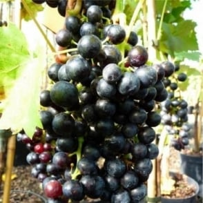 Grape Vine Regent