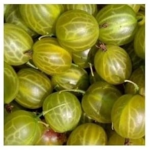 Invicta Gooseberry Bush