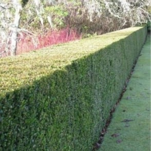 Buxus Sempervirens - Hedging Pack 6 Plants