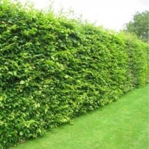 Carpinus betulus - Hedging Pack