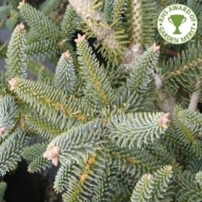 Abies pinsapo 'Glauca' Tree