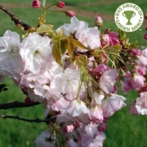 Prunus Shogetsu - Shimidsu - Blushing Bride Tree
