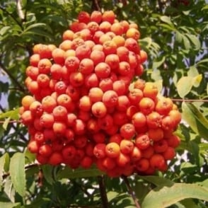 Sorbus aucuparia Tree
