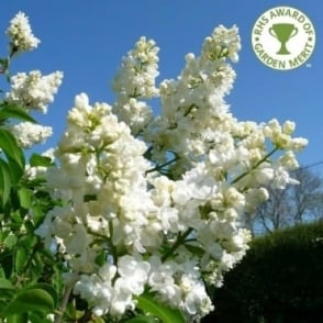 Syringa Vulgaris Madame Lemoine Tree