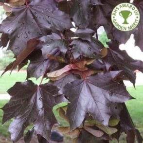 Acer platanoides 'Crimson King' Tree
