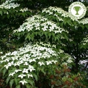 Cornus Kousa Chinensis Tree