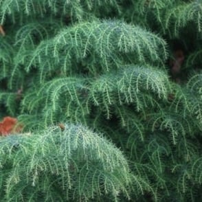 Cryptomeria Japonica Elegans Tree