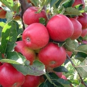 Red Falstaff Apple Tree