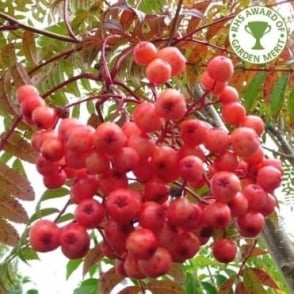 Sorbus 'Eastern Promise' Tree