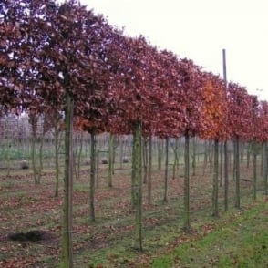 Pleached Beech Trees
