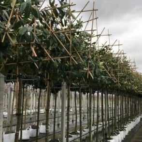 Pleached Cherry Laurel Tree