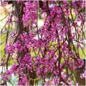 Cercis canadensis 'Lavender Twist' Tree