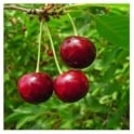 Lapins Cherokee Cherry Tree