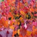 Cercis canadensis 'Forest Pansy' Tree