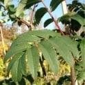 Sorbus Aucuparia Sheerwater Seedling Tree