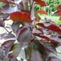 Fagus sylvatica Rivers Purple