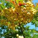 Sorbus Joseph Rock Tree