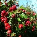 Crataegus Monogyna - Hedging Pack 6 Plants