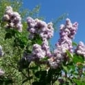 Syringa vulgaris 'Katherine Havemeyer' Tree