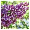 Syringa Vulgaris Sensation Tree