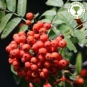 Sorbus aucuparia 'Sheerwater Seedling' Tree
