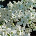 Cornus florida 'Cloud Nine' Tree