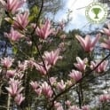 Magnolia 'Heaven Scent' Tree