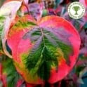 Cornus florida 'Rainbow' Tree