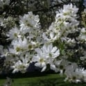 Exochorda serratifolia 'Snow White' Tree