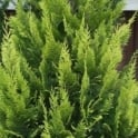 Chamaecyparis lawsoniana Alumii Gold Conifer