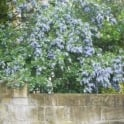 Ceanothus Trewithan Blue Tree