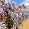 Wisteria sinensis 'Prolific' Tree