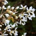 Amelanchier Grandiflora Autumn Brilliance Tree