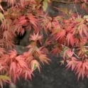 Acer palmatum 'Butterfly' Tree