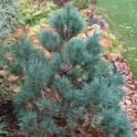 Pinus sylvestris 'Chantry Blue' Conifer