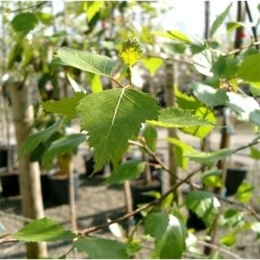 betula pendula fastigiata buy upright fastigiated birch trees. Black Bedroom Furniture Sets. Home Design Ideas