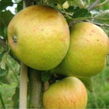 Cox Self Fertile Apple Tree