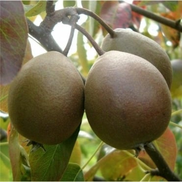 Black Worcester Pear Tree