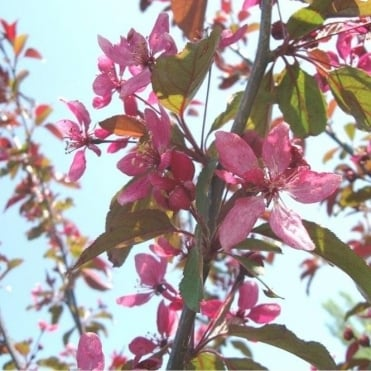 Malus Profusion Improved Tree