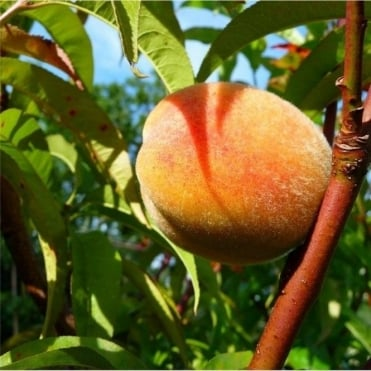 Rochester Peach Tree