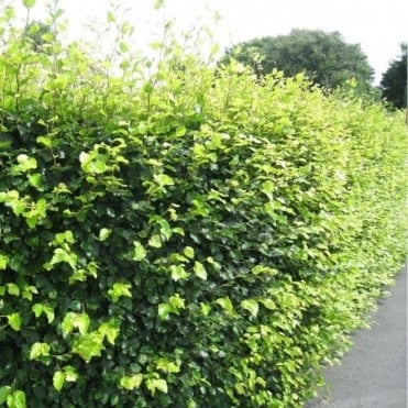 Fagus Sylvatica Hedging Plants