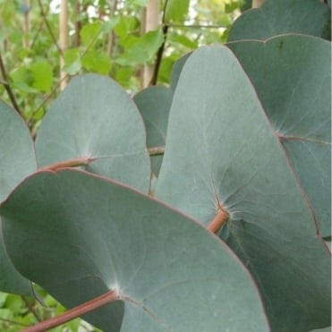 Eucalyptus Perriniana Tree
