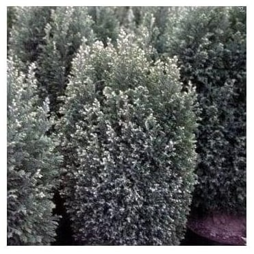Chamaecyparis Lawsoniana Snow White Conifer