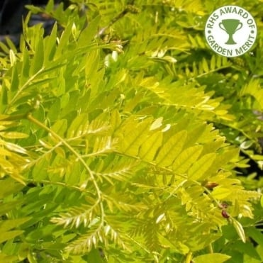 Gleditsia Triacanthos Sunburst Tree