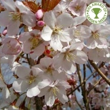 Prunus 'Spire' Tree