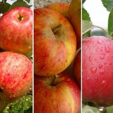 Family Apple Tree | Cox's Orange Pippin, James Grieve & Katy Apple
