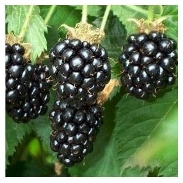 Oregon Thornless Blackberry Bush