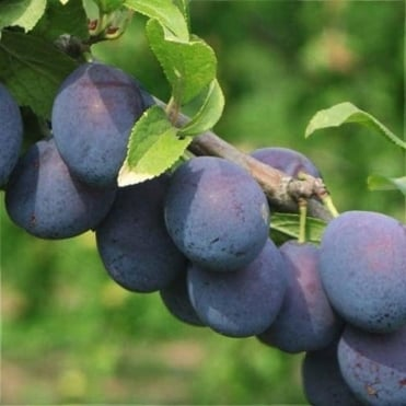 King of the Damsons / Bradleys King Damson Tree